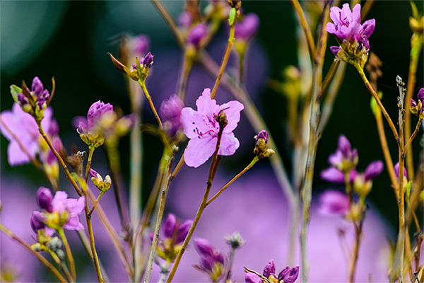 Stock image of mauve blossoms