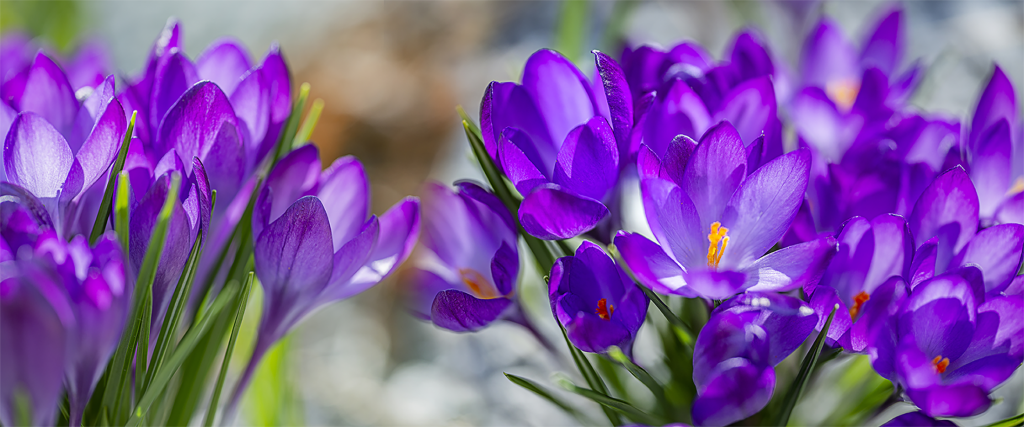 Stock image of purple crocus flowers